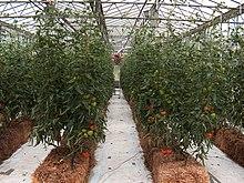 petite serre a tomates