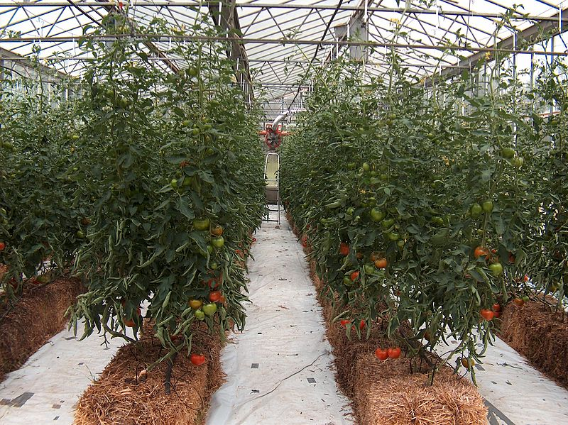Commercial greenhouse growing hydroponic tomatoes ... & Carbon Dioxide Enrichment | Managing CO2 in Your Grow Space