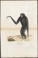 Hylobates syndactylus - 1700-1880 - Print - Iconographia Zoologica - Special Collections University of Amsterdam - UBA01 IZ19800091.tif
