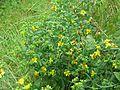 Hypericum kalmianum - Flickr - peganum (2).jpg