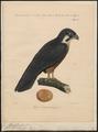 Hypotriorchis eleonora - 1839 - Print - Iconographia Zoologica - Special Collections University of Amsterdam - UBA01 IZ18200085.tif