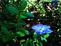 IMG Wishnukranthi flower.jpg
