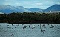IS - Reykjavik - Höfuðborgarsvæðið - Puffin Island - Puffins - Road Trip - Chordata - Animalia - Fratercula - Alcidae - Charadriiformes - Aves (4889931053).jpg