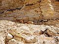 Ibexes at Eyn Ovdat Nature Reserve - panoramio.jpg