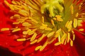 Iceland Poppy Papaver nudicaule 'Champagne Bubbles' Red Stamens.jpg