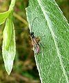 Ichneumon Wasp - Flickr - gailhampshire (22).jpg