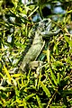 Iguana camuflada entre os galhos verdes da árvore.jpg