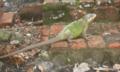Iguana delicatissima en Martinique.png
