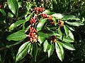 Ilex mitis - Cape Holly tree - berries detail 3.JPG