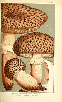 "Illustrations of British Fungi (Hymenomycetes), to serve as an atlas to the ""Handbook of British Fungi"" (Pl. 539) (9016431012).jpg"