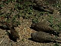 Inca doves eating bird seed with sparrows 201708172.jpg
