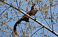 Indian giant squirrel - Ratufa indica (2239249041).jpg