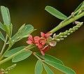Indigobush (Indigofera suffruticosa) flowers (28801766330).jpg