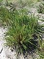 Inula crithmoides sl1.jpg
