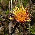 Inula salicina flowers.jpg