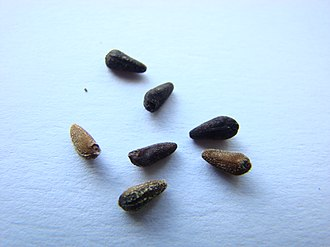 Ipomoea quamoclit - Image: Ipomoea Quamoclit Seeds