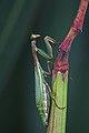 Iris oratoria-Sardinien-2008-Thomas Huntke.jpg