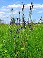 Iris sibirica Muromets4.JPG