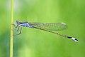 Ischnura elegans 17(loz).jpg
