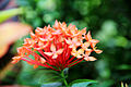 Ixora chinensis - flower view 01.jpg