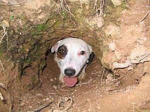 Jack Russell Terrier - A working Jack Russell terrier exits a den pipe.