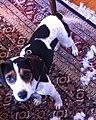 Jackabee puppy.jpg