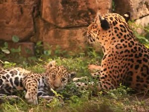 Ficheiro:Jaguars (Panthera onca) playing in a zoo.webm