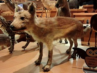 Japanese wolf - Taxidermied specimen, at the National Museum of Nature and Science, Tokyo, Japan