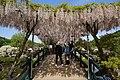 Japanese wisteria, Ashikaga Flower Park 9.jpg