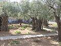 Jerusalem Garden of Gethsemane (2544474668).jpg