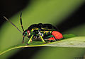 Jewel bug (Scutelleridae Chrysocoris sp.).jpg