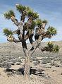 Joshua-tree Yucca brevifolia in-bud tree.jpg