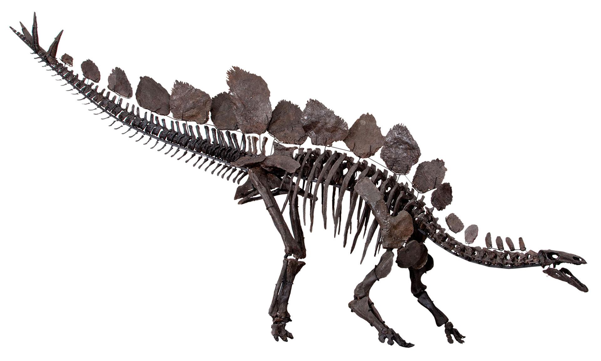 Stegosaurus Skeleton Natural History Museum