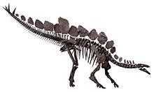 Scheletro di stegosauro, un tireoforo.