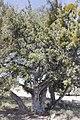 Juniperus angosturana.jpg