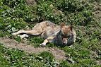Juraparc 06-07-2013 - Wolf resting in the sun.jpg