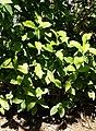 Justicia spicigera 'Sidicaro' - Naples Botanical Garden - Naples, Florida - DSC09616.jpg