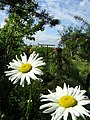 Két margaréta - Two marguerits - panoramio.jpg