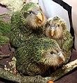 Kakapo chicks (8528275645).jpg