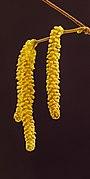 Katjes van een hazelaar (Corylus avellana). 26-01-2021. (actm.) 03.jpg