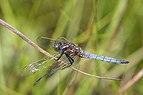 Keeled skimmer (Orthetrum coerulescens) male 2.jpg