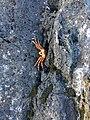 Kepiting Merah1.jpg