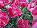 Keukenhof, tulips (32669504374).jpg