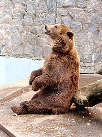 Kharkiv Zoo brown bear 1.JPG