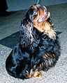 King Charles Spaniel 200.jpg