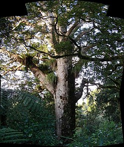 King of New Zealand forest is Majestic Kauri pine.jpg