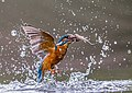 Kingfisher and fish (27957981133).jpg
