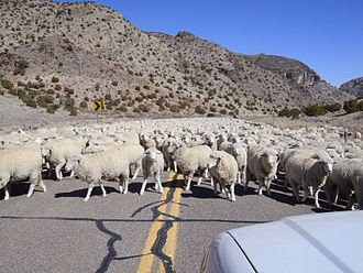 Kings Canyon (Millard County, Utah) - Sheep herded along the road through the canyon, March 2009