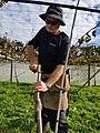 Kiwifruit vine grafting 9.jpg