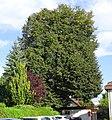 Klagenfurt - Linde in der Frodlgasse.jpg